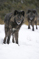 Tundra or Grey Wolves