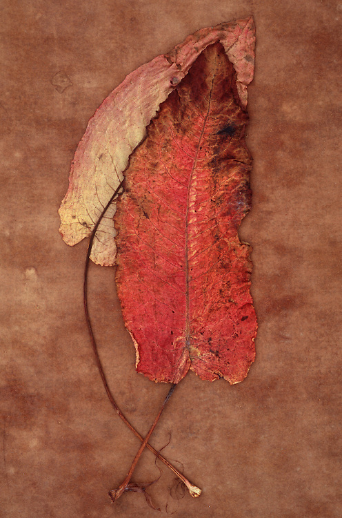 One red leaf and one yellow pink leaf of Broad-leaved dock or Rumex obtusifolius lying on brown antique paper