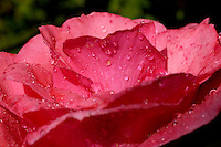 Drops on a rose after a rain shower.