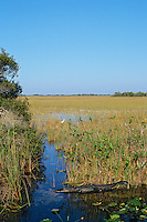 American Alligator (Alligator mississippiensis) in Florida Everglades.