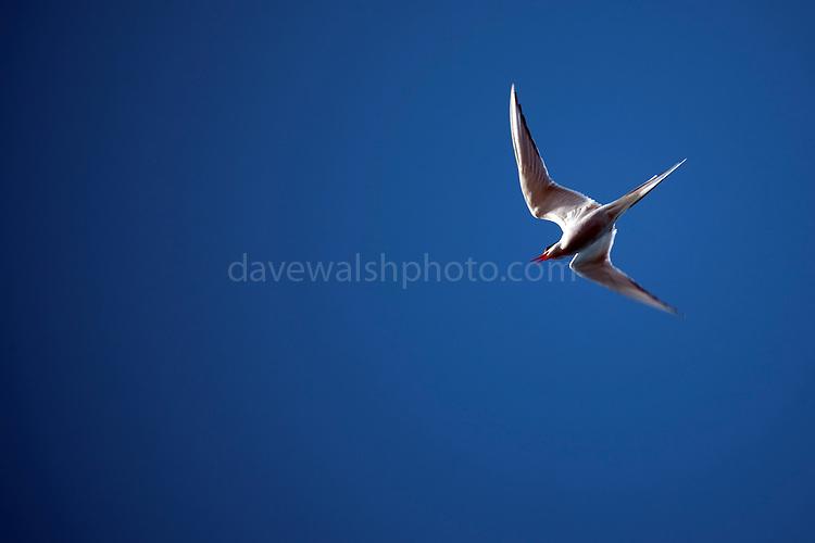 Arctic tern, Sterna Paradisaea near Humboldt Glacier, Greenland.