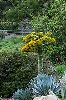 Agave sebastiana, Cedros Island Agave flowering California native desert succulent, Santa Barbara Botanic Garden