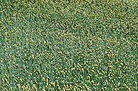 Spring wheat field, Lancaster, Pennsylvania, PA, USA