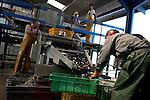 récupération et triage des naissaims d'huitres issu du captage naturel. les naissaims seront ensuite revendus aux ostréiculteurs qui ne pratiquent pas cette méthode.