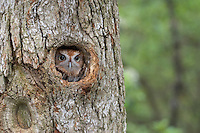 Eastern Screech Owl, Pine Barrens, New Jersey