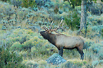 Bull Elk Bugling at Dawn, Lower Mammoth, Yellowstone National Park, Wyoming