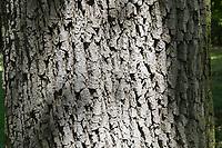 Stiel-Eiche, Rinde, Borke, Stamm, Baumstamm, Eichen, Stieleiche, Eiche, Quercus robur, Quercus pedunculata, English Oak, pedunculate oak, bark, rind, trunk, stem, Le chêne pédonculé