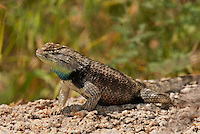 442800002 a wild male yellow-backed spiny lizard sceloporus uniformis displays on a rock in joshua tree national park san bernardino county california united states