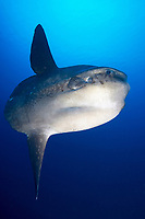 Oceanic sunfish (Mola mola), Jurassic point, Nusa Lembongan, Bali, Bali sea, Indian ocean, Asia