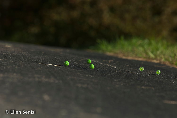 Little Falls, New York. Five marbles roll down hill in driveway. Image can be used to illustrate: force of gravity, acceleration, friction, (from Newton's Laws). Image could also be used to demonstrate Depth of Field in photography technique. ID: AF-WIC. ©Ellen B. Senisi.