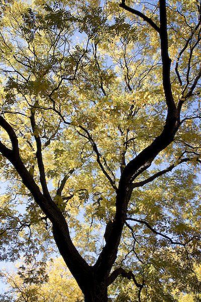 Fall leaves on a tree in the Prospect Heights neighborhood in Brooklyn, New York, on 09 November 2011.