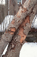 Peeling bark of dying flowering dogwood Cornus florida due to Anthracnose problem