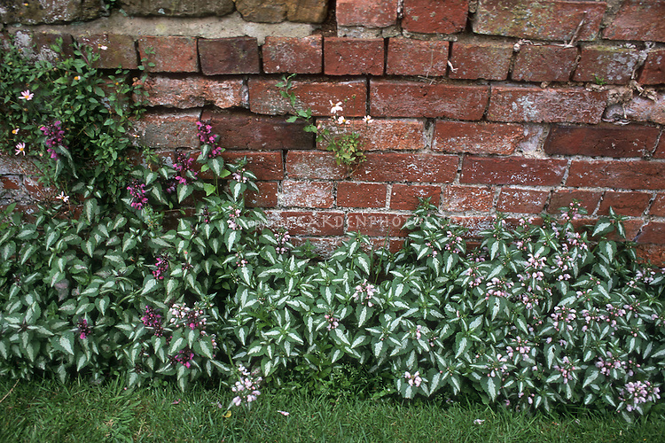 Two kinds of Lamium maculatum against brick wall