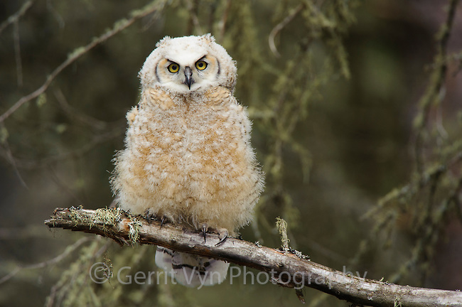 Fledgling Great Horned Owl (Bubo virginianus). Alberta, Canada. May.
