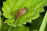 Goldgelbe Schnepfenfliege, Schnepfen-Fliege, Männchen, Rhagio tringarius, Snipe Fly, Snipe-Fly, Schnepfenfliegen, Rhagionidae, snipe flies, snipe-flies, downlooker, down-looker flies