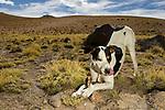 Domestic Dog (Canis familiaris) chewing on bone, Abra Granada, Andes, northwestern Argentina