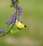 Male American golfinch hanging from some plastic decorations.