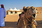 Camels at Desert Nights Camp, Wahiba Sands, Oman, Middle East