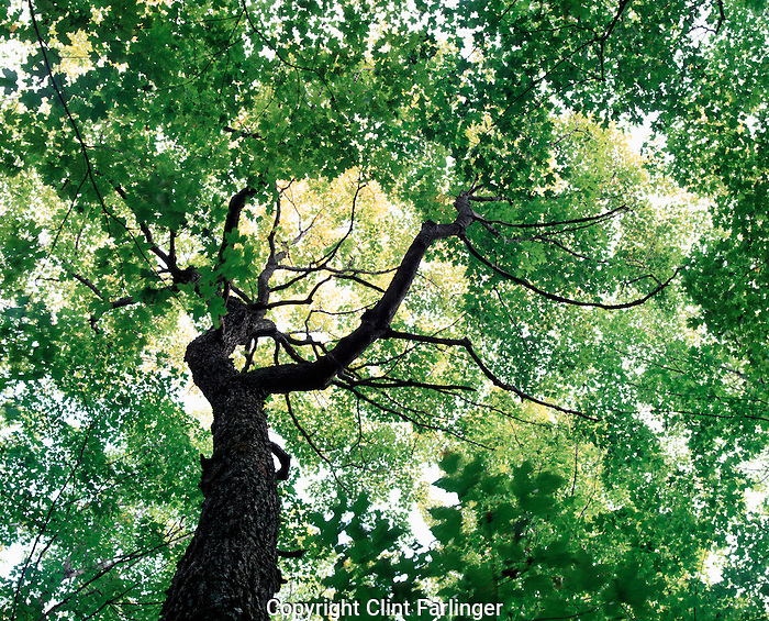 sugar maple in old growth forest, Crosby-Manitou State Park, Minnesota