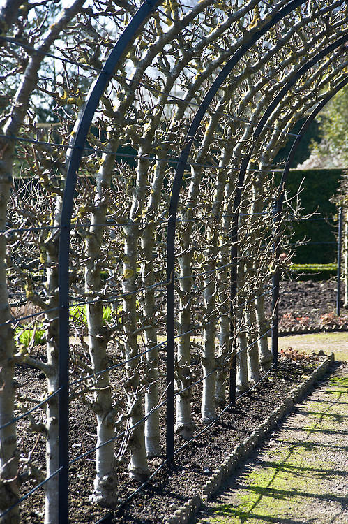 'Conference' pear cordons trained into an arch, West Dean Gardens, Sussex, early March.