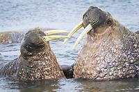 Atlantic walrus, Odobenus rosmarus rosmarus, playing, Spitsbergen, Svalbard, Norway, Arctic Ocean