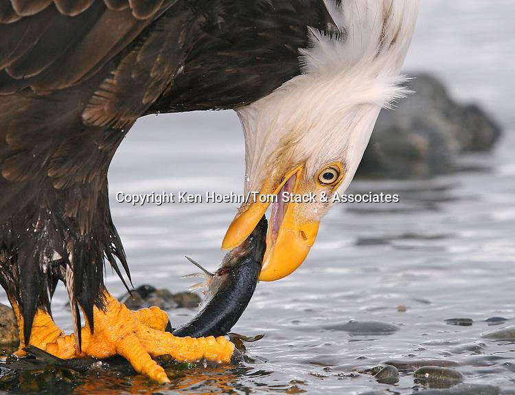 A Bald Eagle (Haliaeetus leucocephalus) displays its powerful talons and beak.   Kenai Peninsula, Alaska