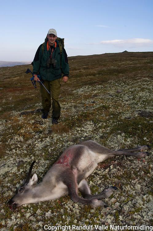 Jeger nærmer seg død kalv på villreinsjakt ---- Hunter approaching dead reindeer