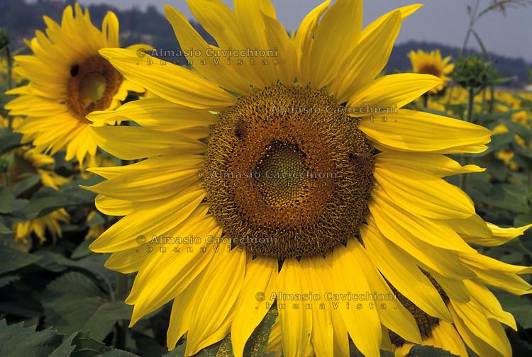 Lombardia - campo di girasoli.<br /> Lombardy - sunflower field.