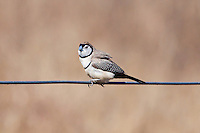 Double-Barred Finch, near Normanton, Queensland, Australia