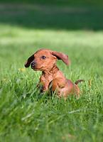 Puppy running through grass, New Jersey