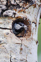 Mountain Chickadee, Poecile gambeli,adult removing fecal sac from nesting cavity in aspen tree, Rocky Mountain National Park, Colorado, USA, June 2007