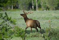 Rocky Mountain Bull elk in velvet.  Western U.S., June