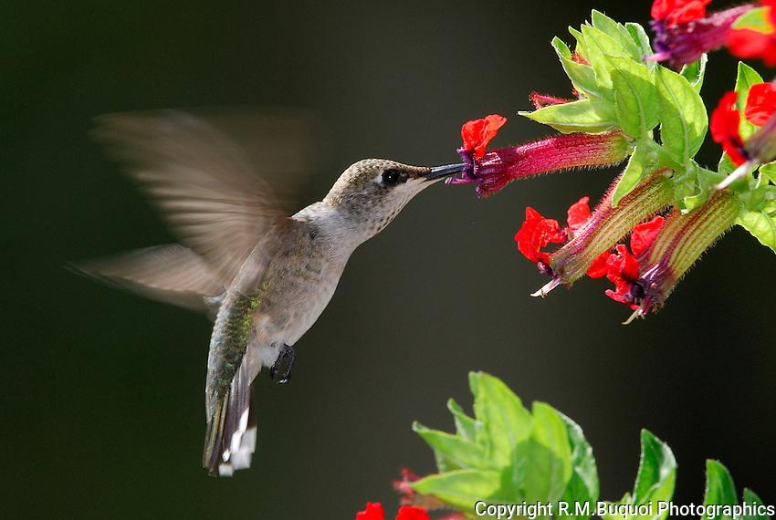 Black-chinned Hummingbird feeding on Bat-faced Cuphea