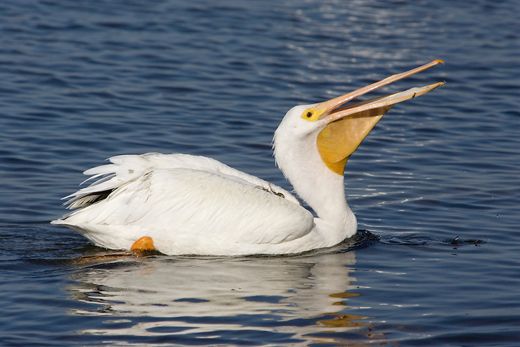 American White Pelican - Pelecanus erythrorhyncho