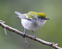 First winter female chestnut-sided warbler in fall migration