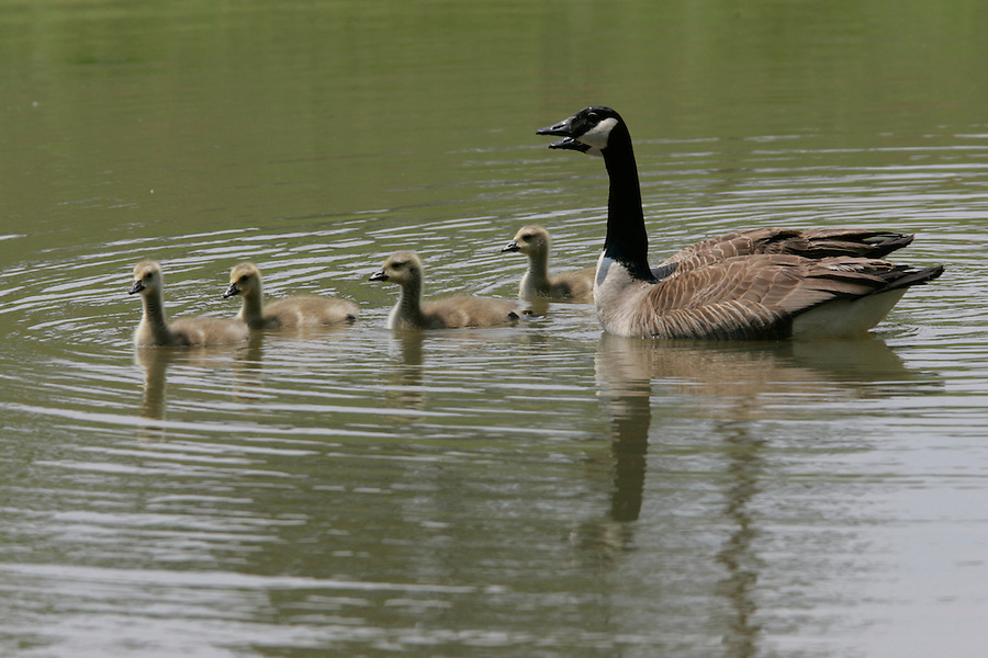 Geese with babies on assignment in Keswick, VA. Photo by Andrew Shurtleff ..