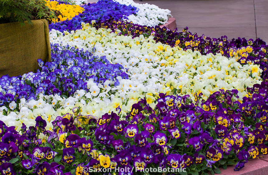 Pansies in flower beds, Viola cornuta, bedding flowers at California Spring Trials, Sakata Seeds