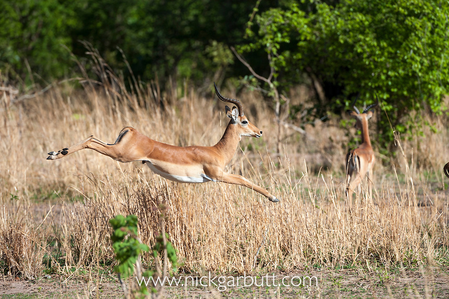Male Impala (Aepyceros melampus) leaping, pronking, stotting - evasive / display action after seeing a predator. South Luangwa National Park, Zambia. December