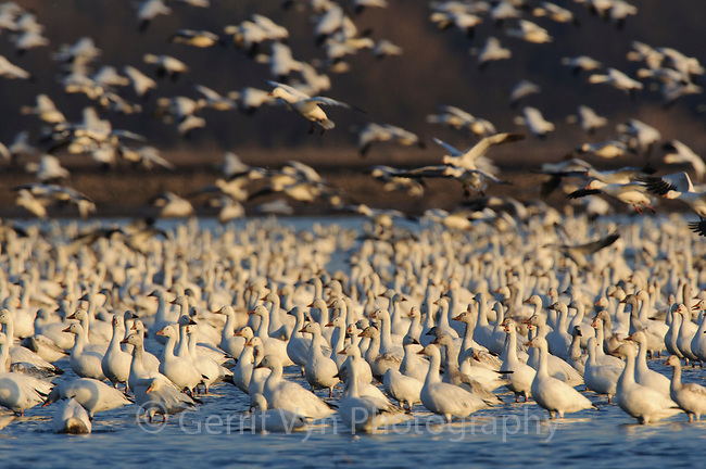 "Flock of ""Greater"" Snow Geese (Chen caerulescens) roosting in a flooded agricultural field during migration. Montezuma NWR, New York. March."