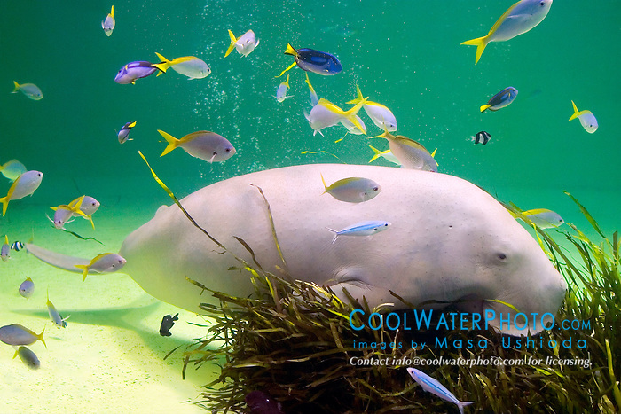 various reef fish and dugong, Dugong dugong, feeding on amamo, Cymodocea sp., seagrass native to Japan (c), Indo-Pacific Ocean