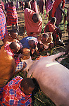 A sacrificial cow is suffocated to death at the beginning of the an initiation ceremony that will bring the young Maasai Moran (young warriors) into manhood.  Kajiado, Kenya.