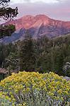 Rabbitbrush (Chrysothamnus nauseous) and alpenglow on Silver Peak, Toiyabe National Forest, California