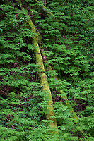 Green Moss Covered Tree In Lush Rain Forest Ground Cover, Cascade Mountain Range, Washington State.