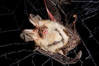 Braunes Langohr in Fledermausnetz, Japannetz, Netz, Forschung, Plecotus auritus, brown long-eared bat, common long-eared bat