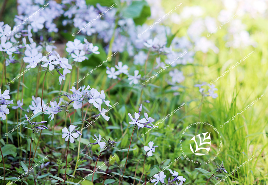 A patch of Blue Phlox wildflowers in spring along the Oconaluftee river trail at the great smoky mountain national park - Free Nature Stock Photo.