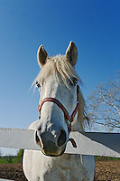White horse looking over fence, Shaker Village of Pleasant Hill, near Harrodsburg, Kentucky