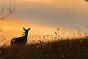 00275-191.02 White-tailed Deer (DIGITAL) doe is silhouetted as it stands on hill in meadow during fall.  H3R1