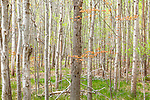 Two maples in an aspen grove in spring,  Acadia National Park, Maine, USA