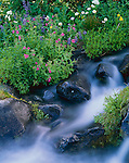 Mount Rainier National Park,  WA<br /> A summer wildflower mix of lupine, monkey-flower, and asters along an intermittent stream