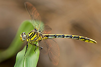 334120012 a wild female sulphur-tipped clubtail dragonfly gomphus militaris perches on a plant leaf in bentsen rio grande valley state park in mission texas